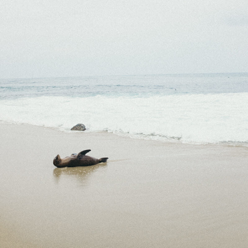 The Sea Lions & Seals of La Jolla Cove